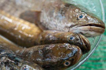 bral fish